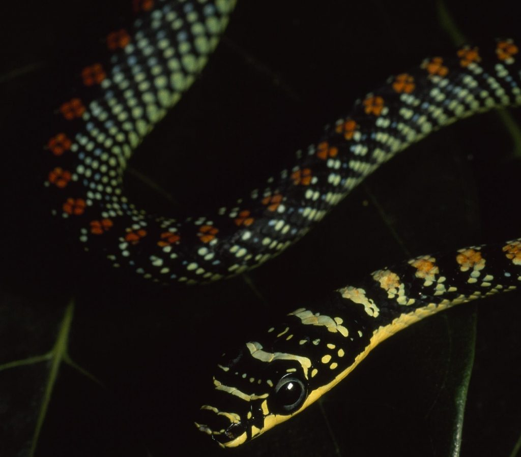 Летающая украшенная змея обитает на фруктовых деревьях